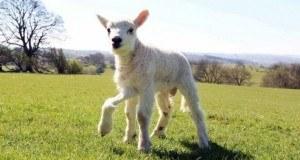 5 legged sheep