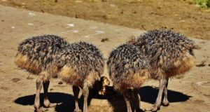 haalbare struisvogels