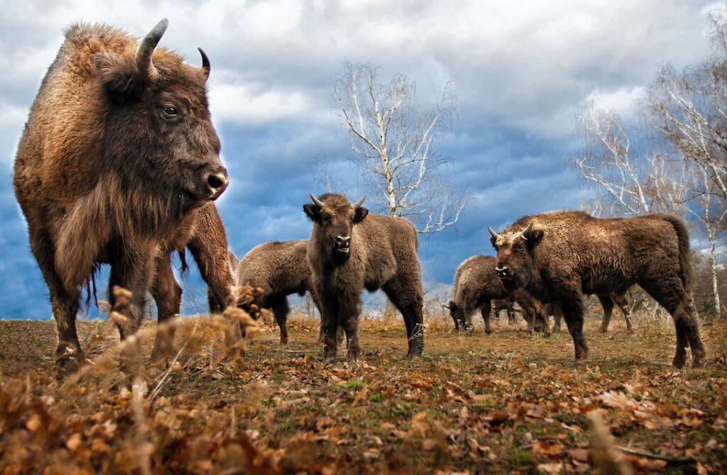 Over volumerecruitment gesproken: ruim 45.000 mensen willen best op bizons jagen