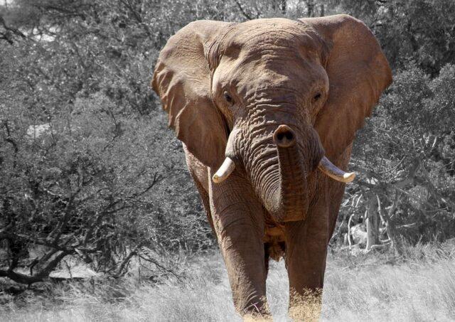 olifant cadeau